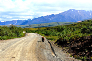 Denali National Park: grizzly bear taking a road trip