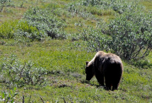 Denali National Park: grizzly bear